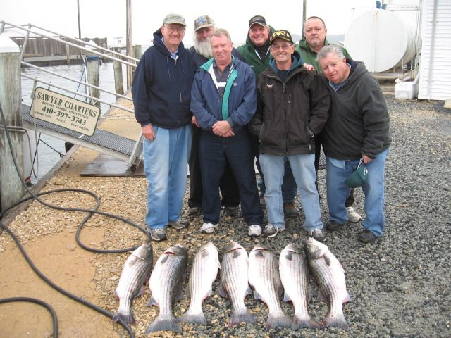 More BIG Striped Bass Today! Maryland Chesapeake Bay Striped Bass Fishing Charters!