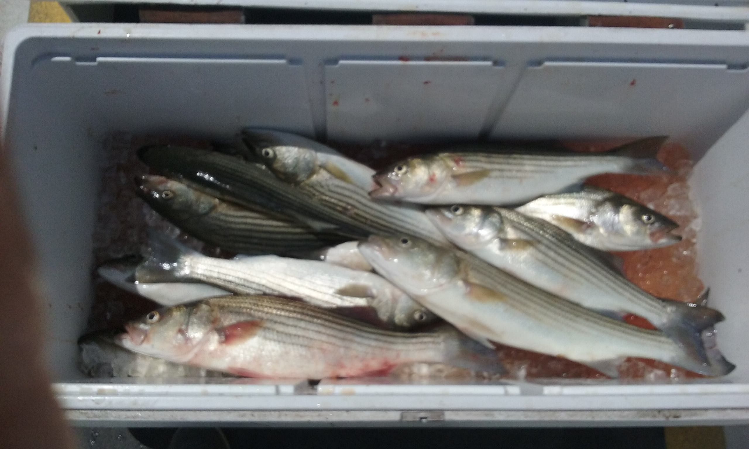 This Is What A Limit of Summer Stripers Looks Like!