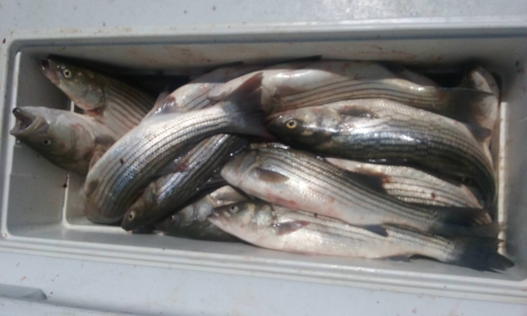 Cooler Shot Of A Full Limit Of Chesapeake Bay Rockfish - Maryland Fishing Charters