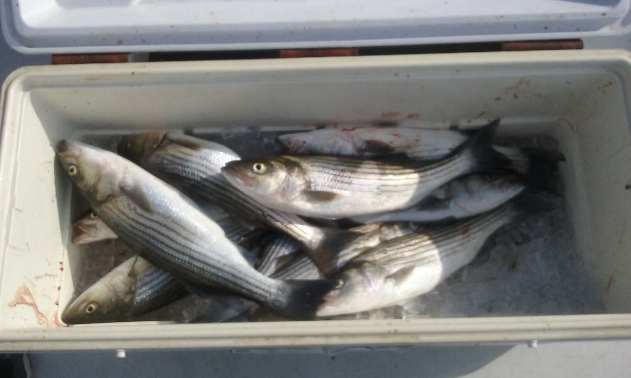 A Cooler Full Of Summer Stripers!