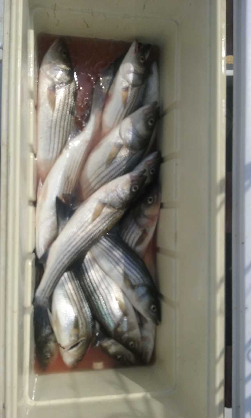 Maryland Rockfish Caught on the Chesapeake Bay