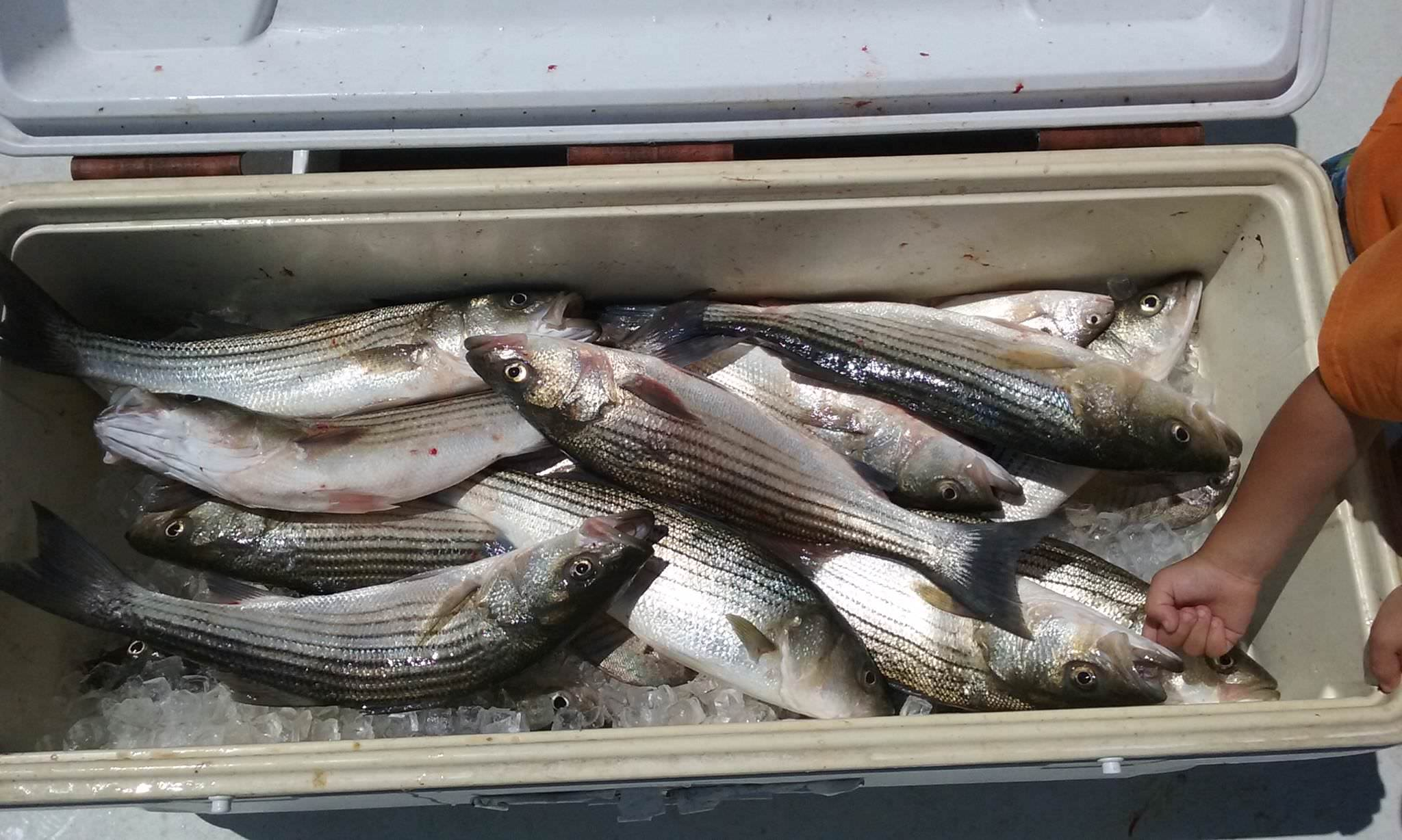Here Is Another Cooler Full of Rockfish!