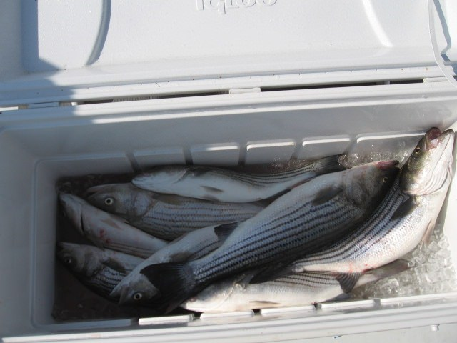 Nice Cooler Full Of Rockfish!