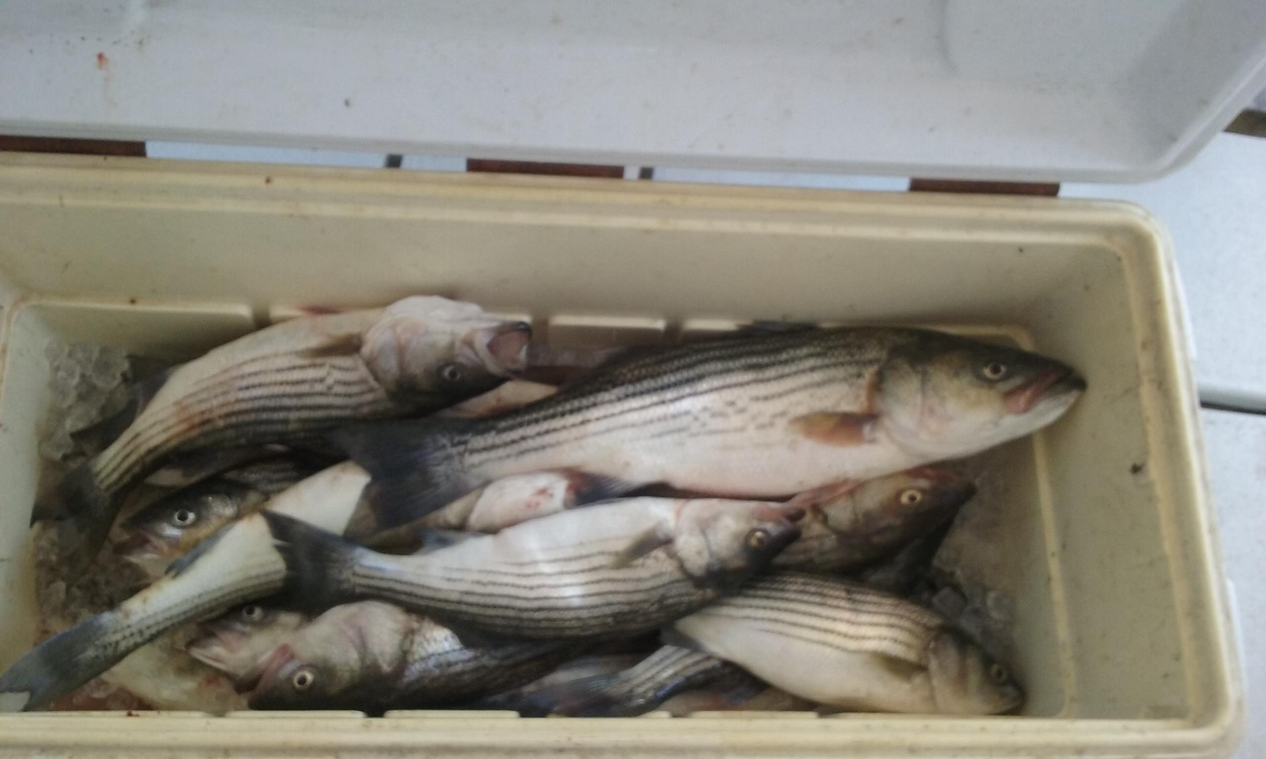 A Limit of Maryland Rockfish for 10 People!