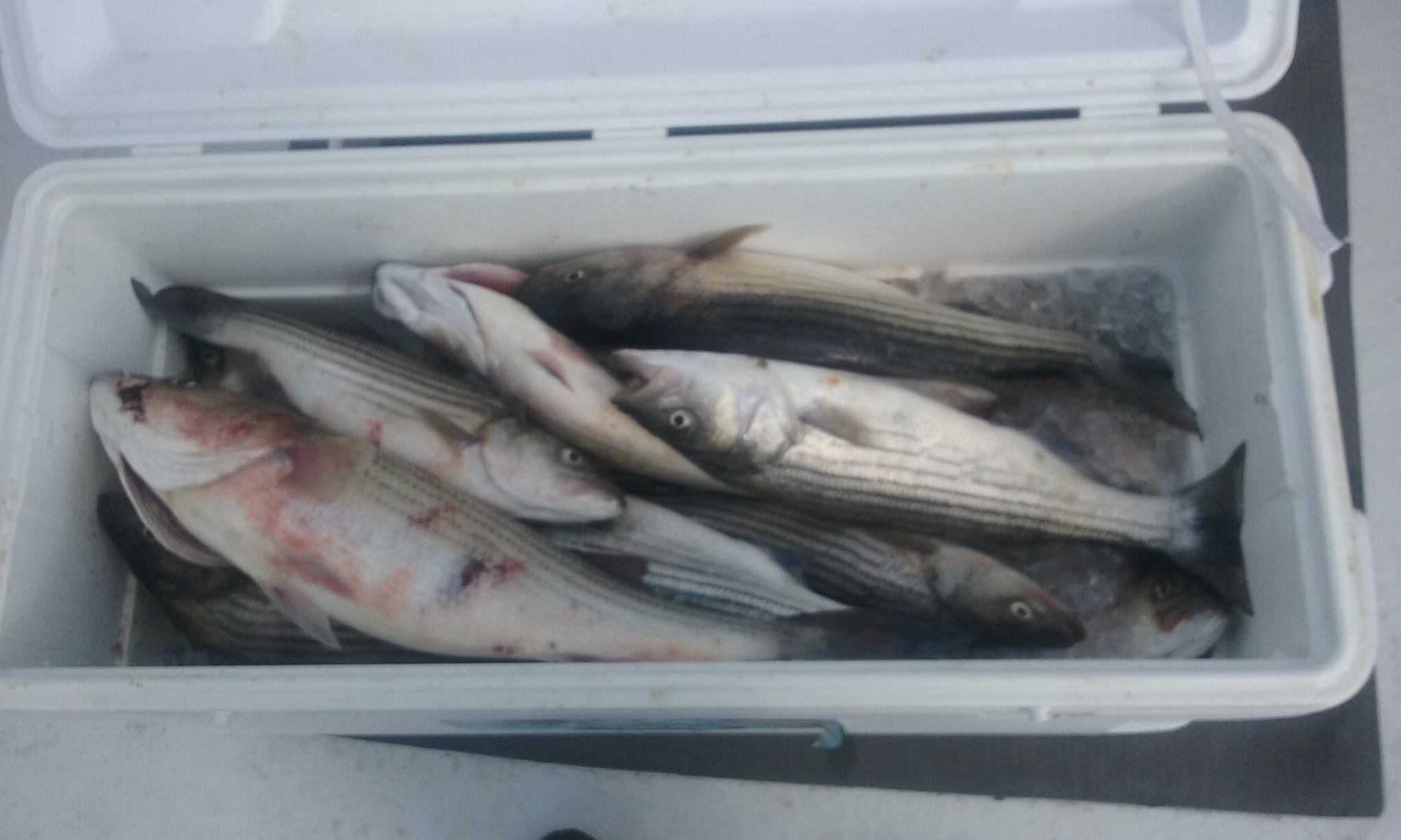Another Limit Of Maryland Rockfish Caught On The Chesapeake Bay!