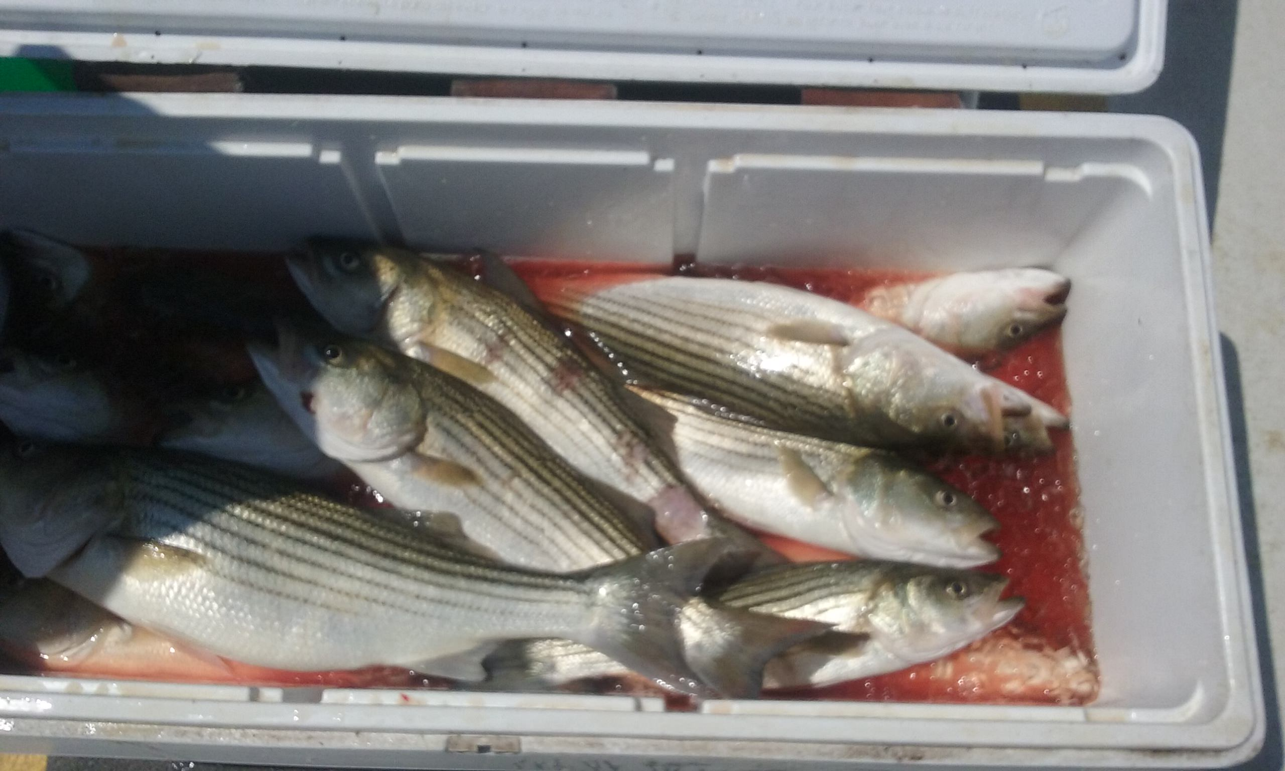Maryland Chesapeake Bay Striped Bass!
