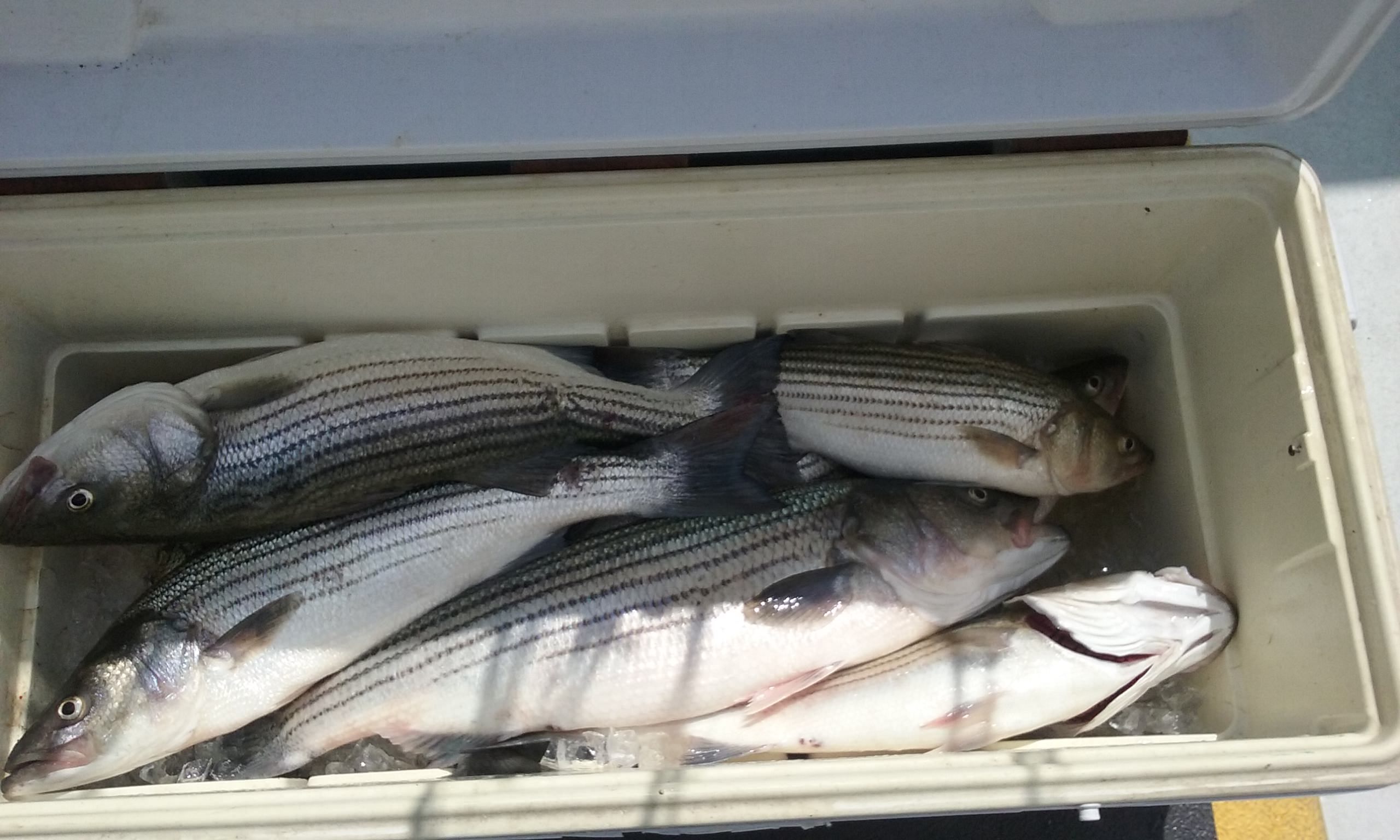 Here's A Cooler Shot of our Rockfish Catch!