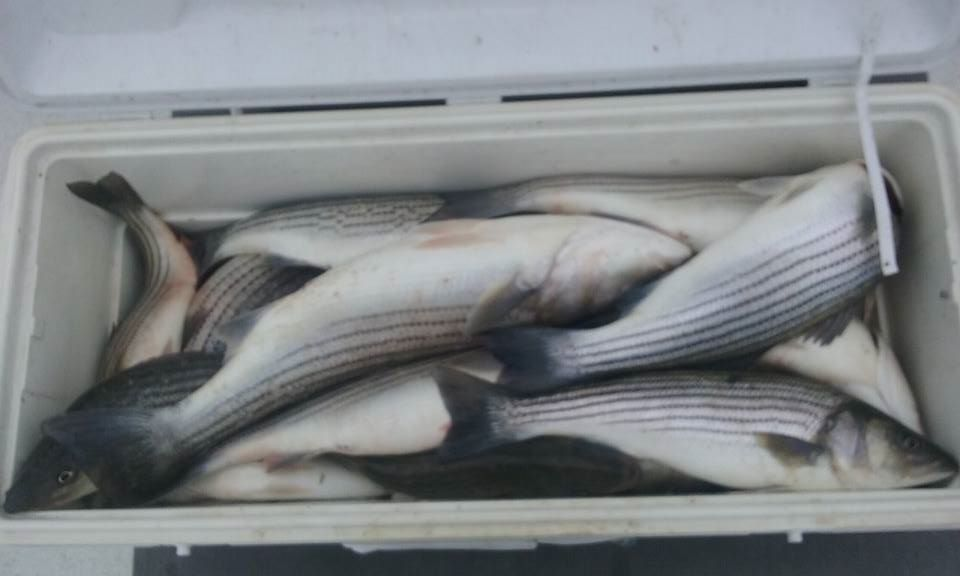 A Full Cooler Of Maryland Rockfish!