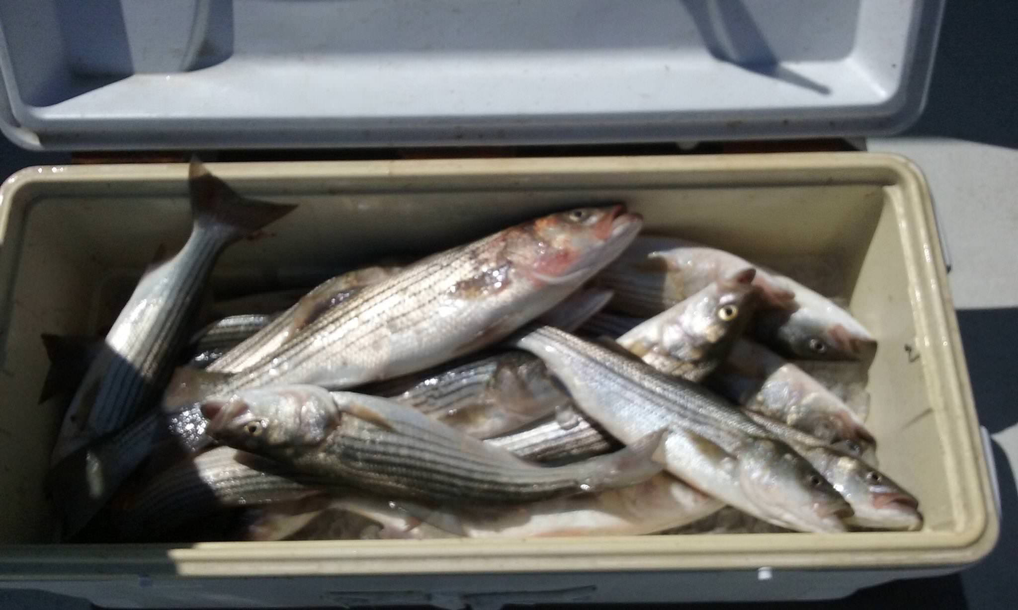 Here Is What A Limit Of Rockfish Caught By 9 People Looks Like!