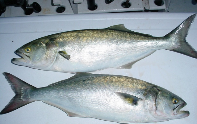 Five-pound bluefish caught on the Chesapeake Bay!
